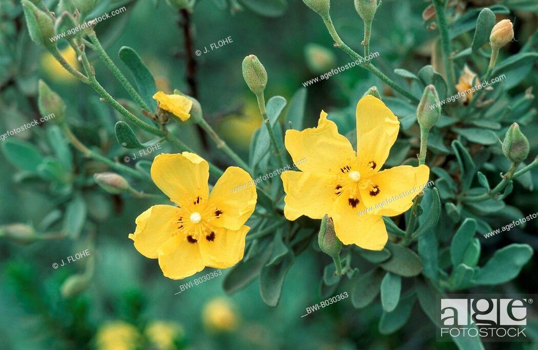 Imagen: halimium (Halimium halimifolium), blossoms, Portugal.