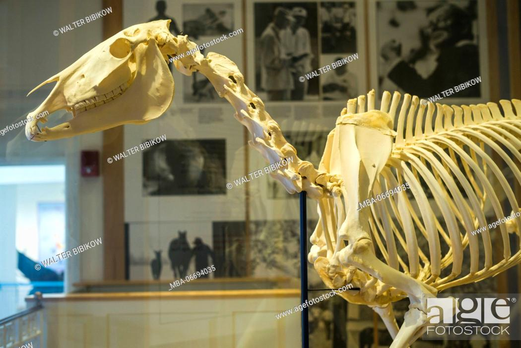 Imagen: USA, New York, Hudson Valley, Saratoga Springs, National Museum of Horse Racing and Hall of Fame, horse skeleton.