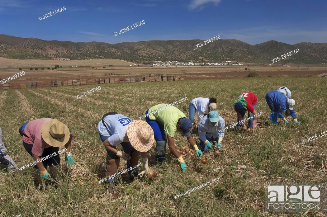 Stock Photo: Ecological agriculture, Onions, Navahermosa - Sierra de Yeguas, Malaga-province, Region of Andalusia, Spain, Europe.