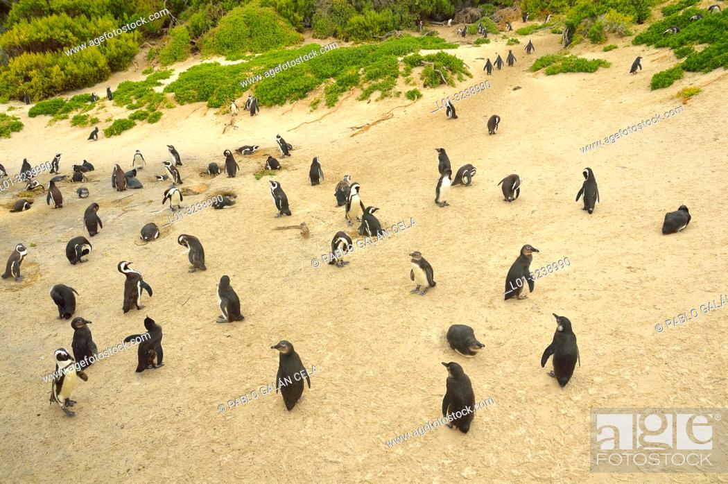 Imagen: African penguin colony (Spheniscus demersus), near Cape Town, South Africa.