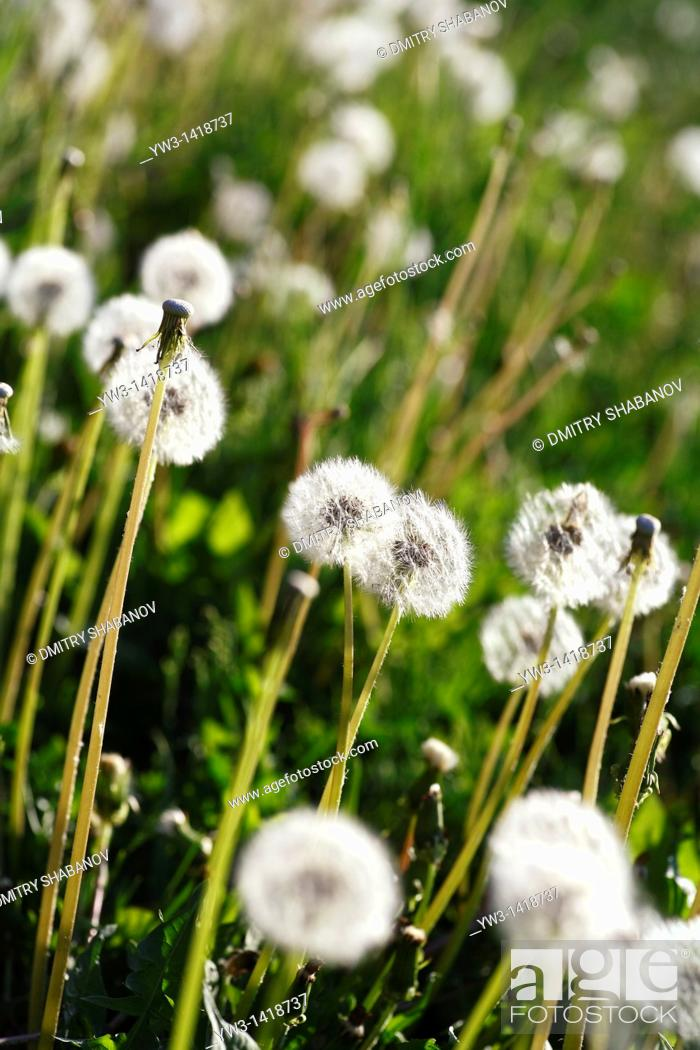 Stock Photo: blowball dandelion clock at springtime in the wind.