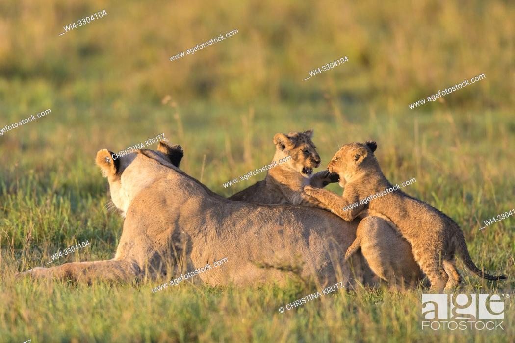 Stock Photo: African Lion (Panthera leo) female with cubs, Maasai Mara National Reserve, Kenya, Africa.