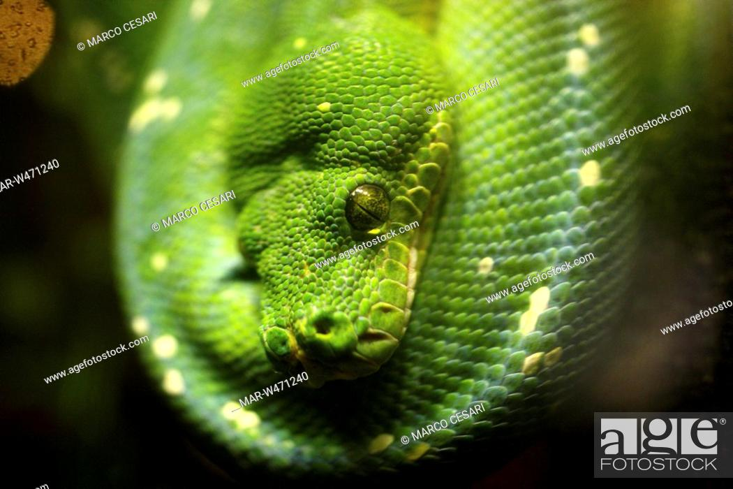 Stock Photo: green tree python, acquario di genova, liguria, italy.