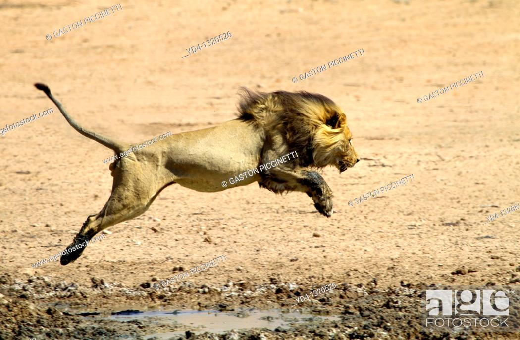 Stock Photo: African Lion Panthera leo - Male, junping the waterhole, Kgalagadi Transfrontier Park, Kalahari desert, South Africa.
