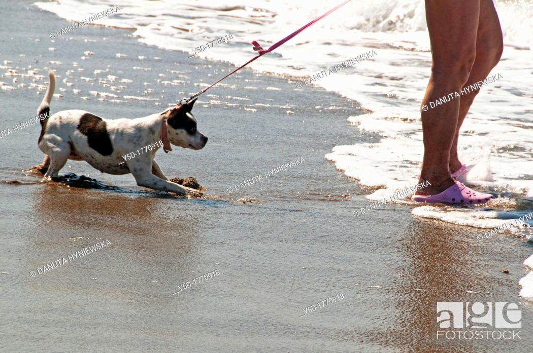 Stock Photo: dog afraid of water on the beach forced by his owner to enter the water by pulling the leash.