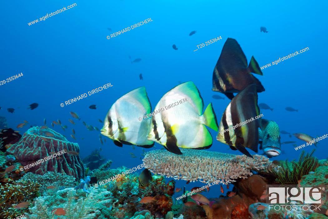 Stock Photo: Group of Pinnate Batfish, Platax pinnatus, Komodo National Park, Indonesia.