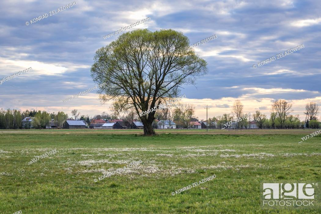 Stock Photo: Single tree on a meadow in Wegrow County, Poland.