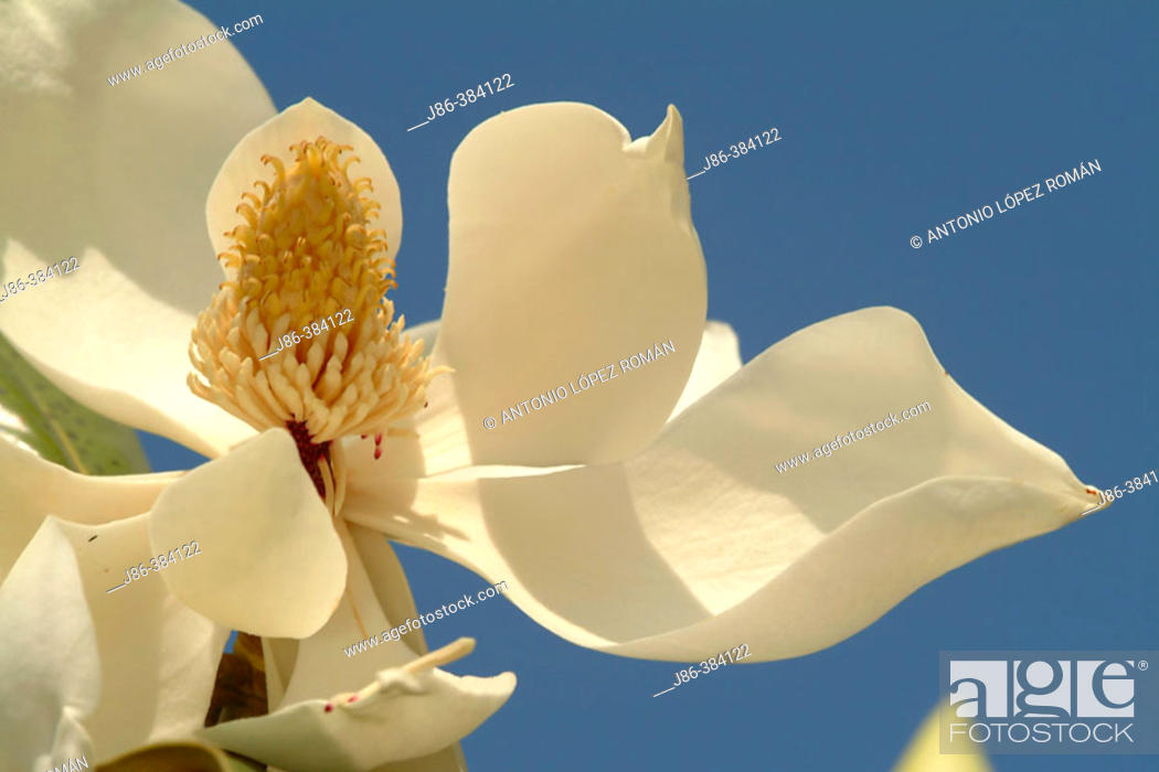 Stock Photo: Southern Magnolia flower (Magnolia grandiflora).