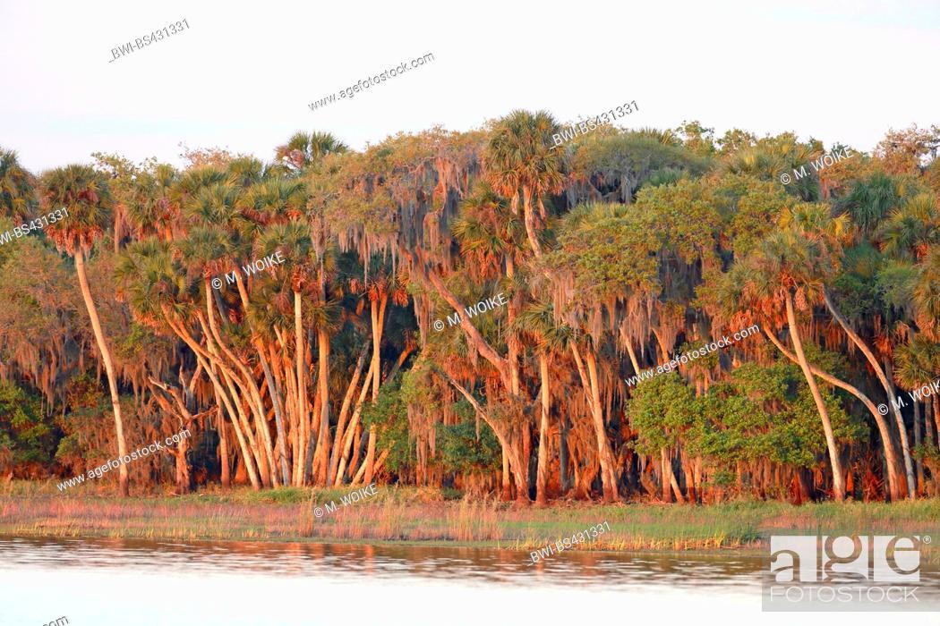 Stock Photo: cabbage palmetto (Sabal palmetto), palm forest at the lakeside, USA, Florida, Myakka National Park.