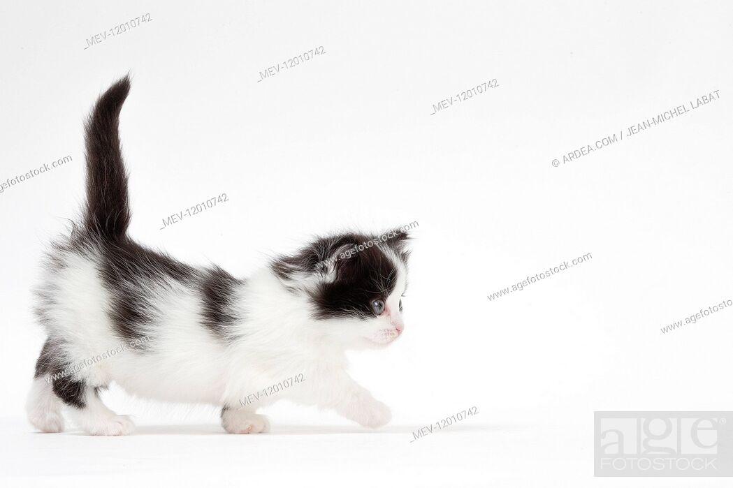 Stock Photo: Munchkin kitten in the studio.