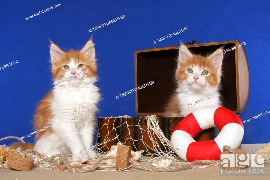 Stock Photo: 2 Maine Coon Kitten.