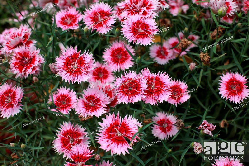 Stock Photo: A cosmor flower Bangladesh.