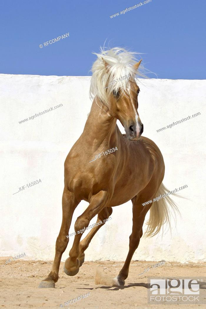 Stock Photo: Barb horse - galloping.