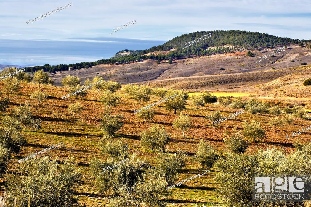 Stock Photo: Olives in the Valdeloro La Guardia Toledo Castilla la Mancha Spain.