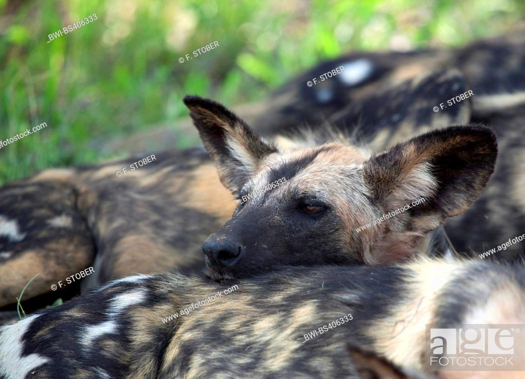 Stock Photo: African wild dog, African hunting dog, Cape hunting dog, Painted dog, Painted wolf, Painted hunting dog, Spotted dog, Ornate wolf (Lycaon pictus), portrait.
