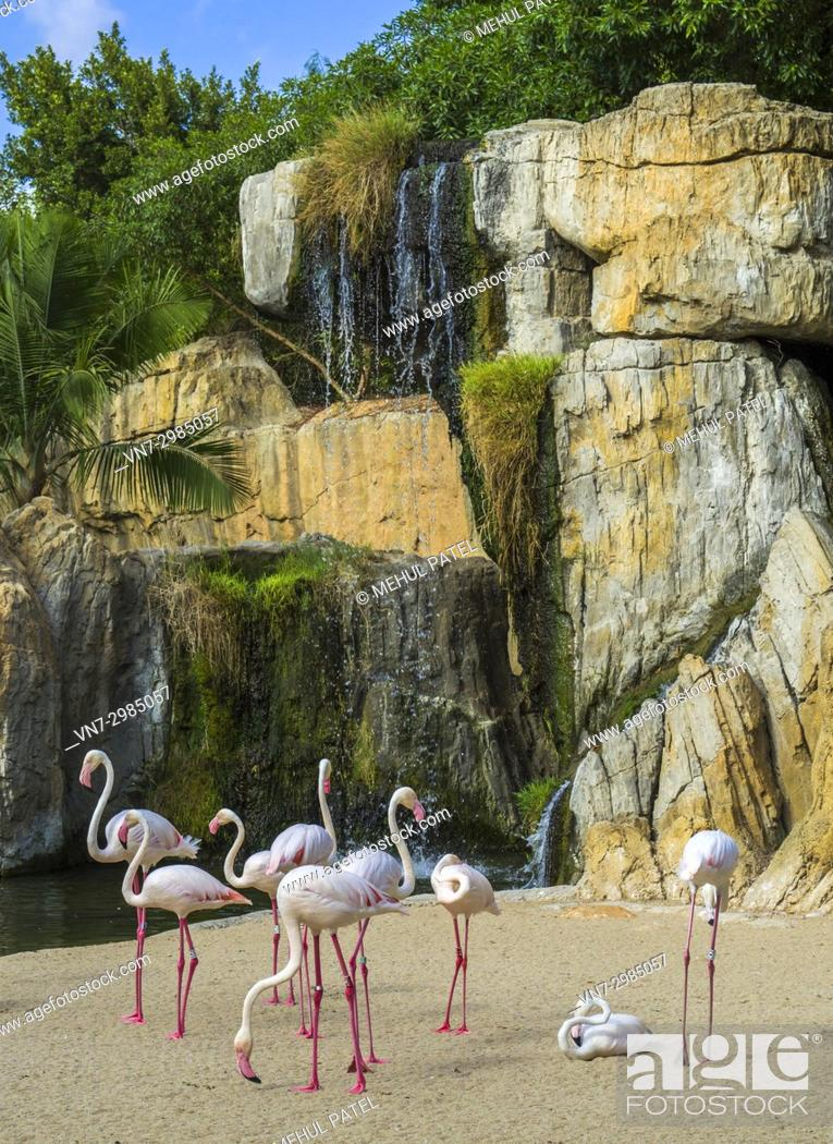 Stock Photo: Group of Greater flamingos (Phoenicopterus roseus) in the natural animal park, Bioparc Valencia, Spain. The Greater flamingos share a multispecie enclosure.