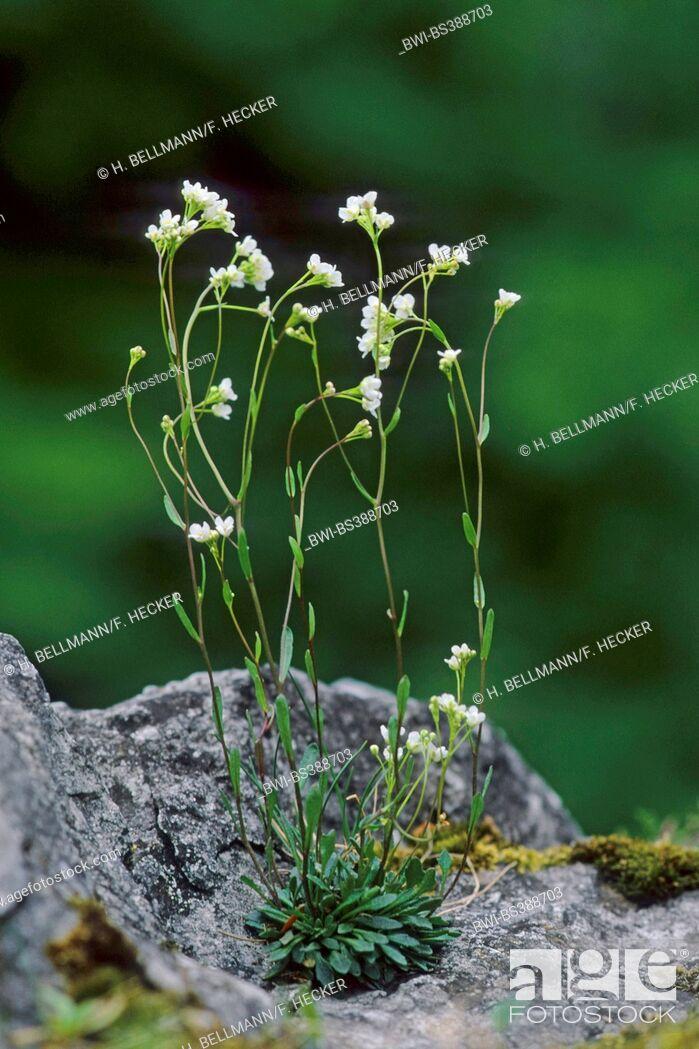 Imagen: Kernera (Kernera saxatilis), blooming on a rock, Germany.