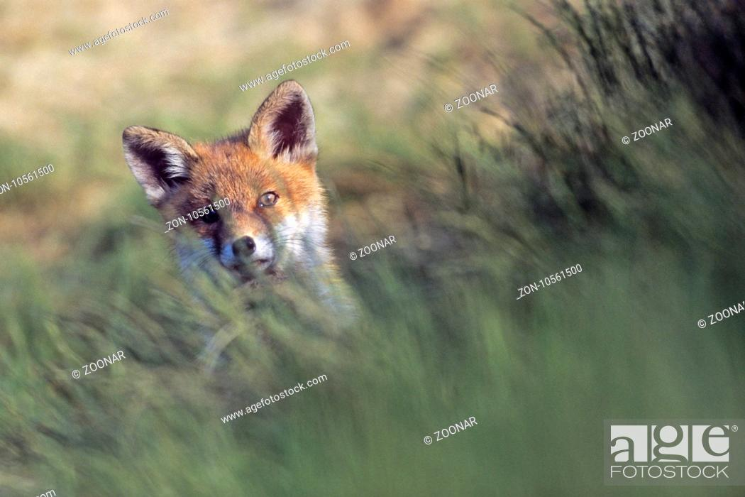 Red Fox kit, cub, pup, Stock Photo, Picture And Rights Managed Image