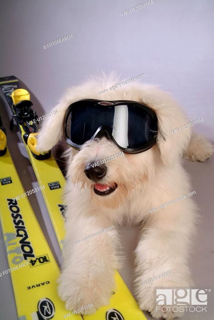 Stock Photo: pose, sheepdog, house pet, canines, domestic, posing, S2old english sheepdog.