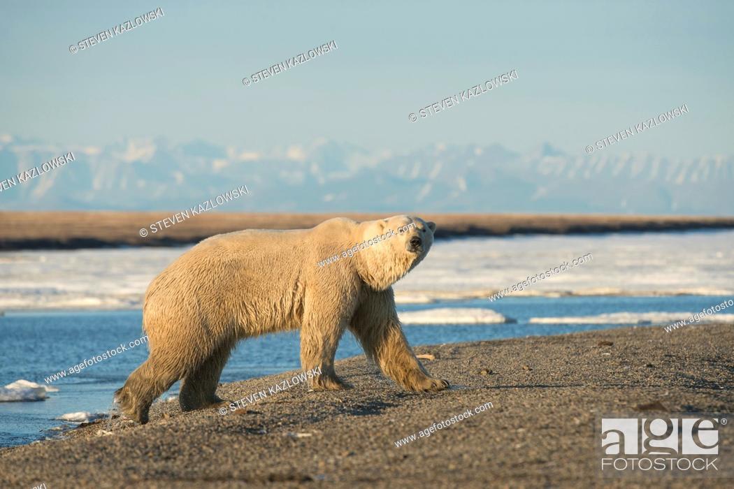 Stock Photo: USA, Alaska, North Slope of Brooks Range, starving skinny adult polar bear (Ursus maritimus) walking along coast in search of food.