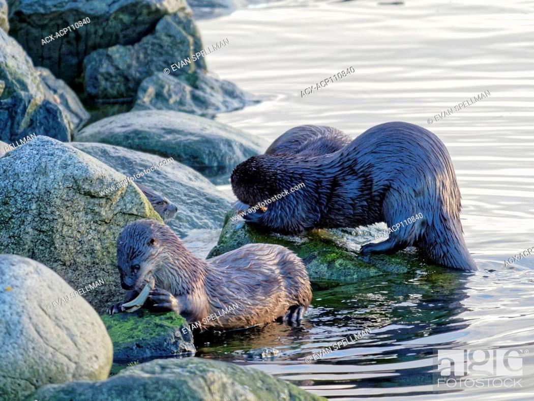 Stock Photo: North American river otter (Lontra canadensis), also known as the northern river otter or the common otter, a semiaquatic mammal endemic to the North American.