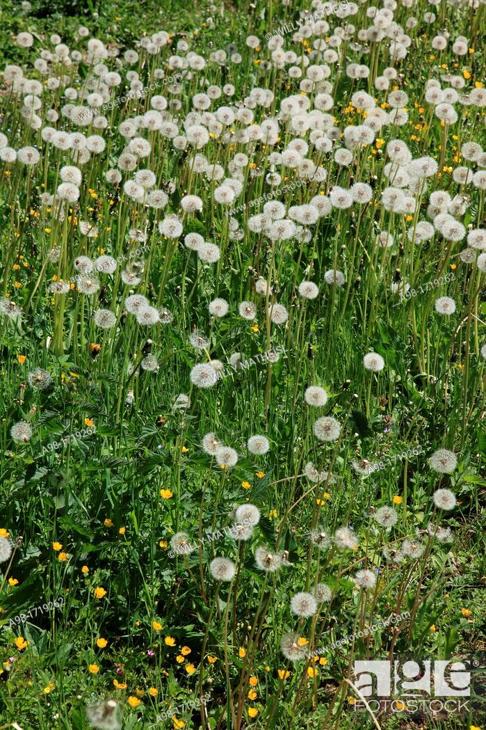 Stock Photo: Withered Dandelion meadow, Bohemia, Czech Republic, Europe.