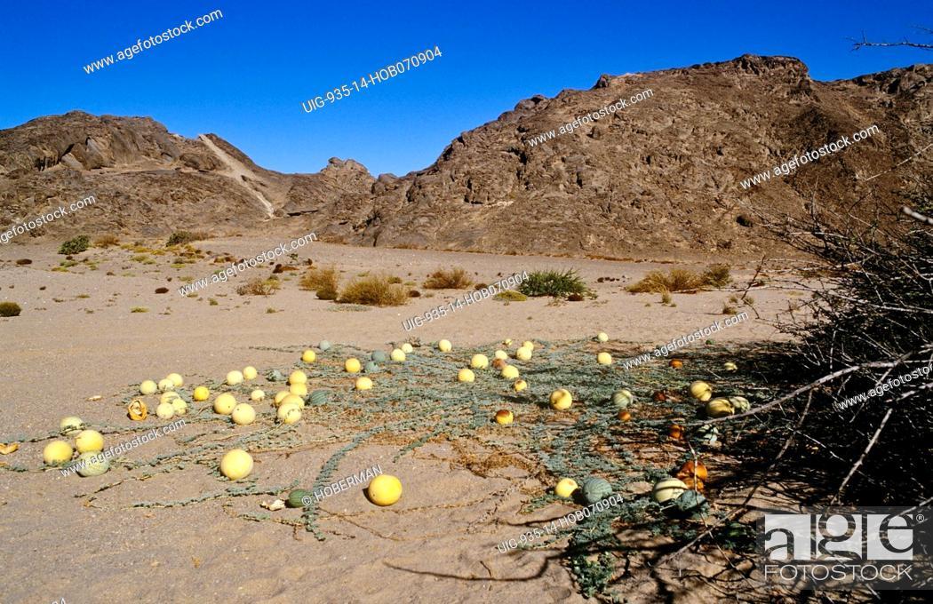 Imagen: Kalahari Tsamma melon, Northern Cape.