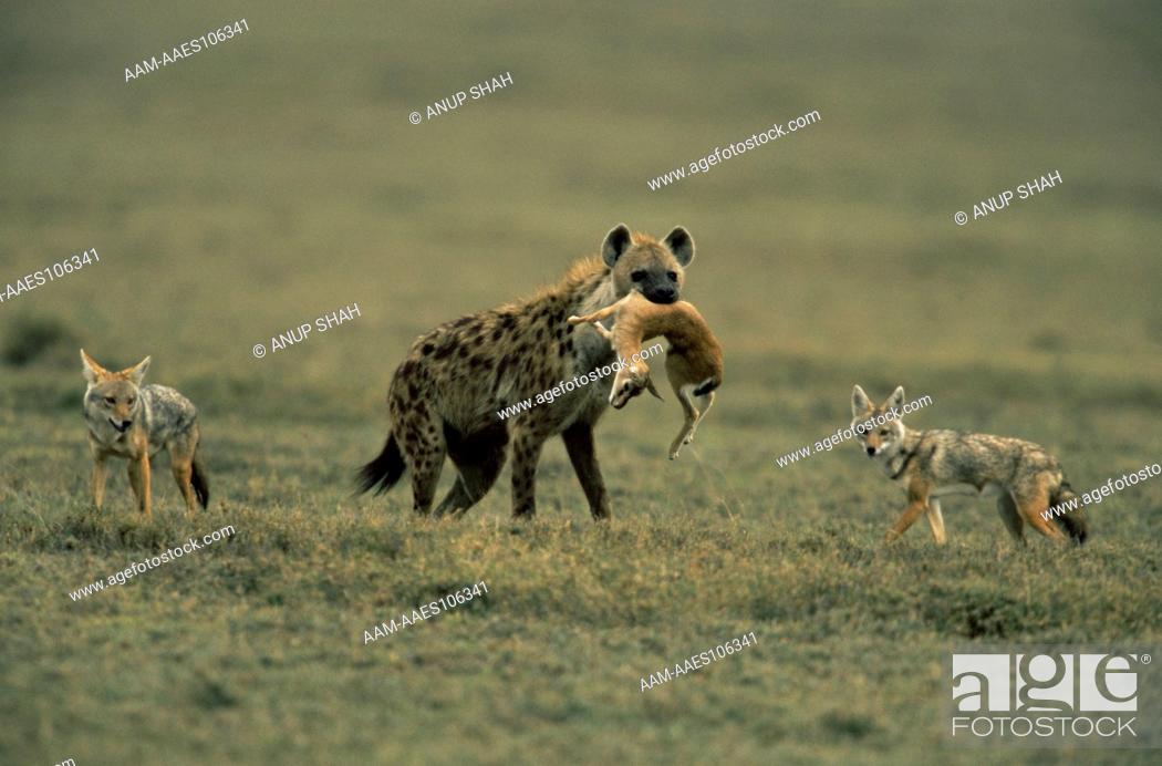Stock Photo: Spotted hyaena (Crocuta crocuta) carrying dead baby Thomson's gazelle (Gazella thomsoni) with Golden jackals (Canis aureus) behind, Ngorongoro conservation area.