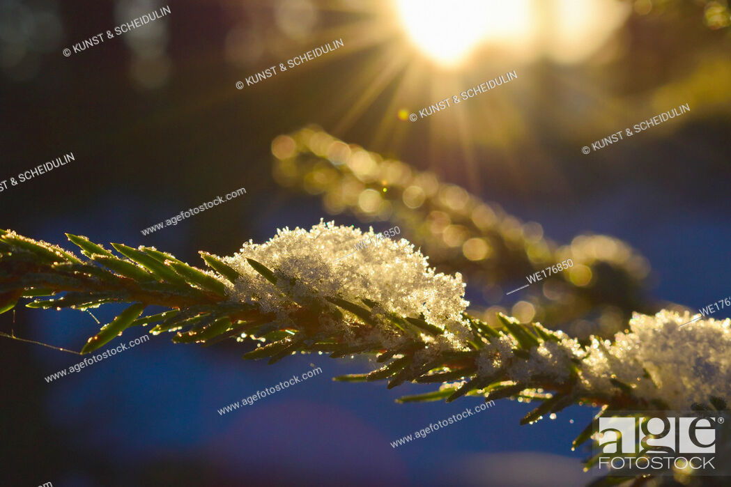 Stock Photo: Close up of snowflakes resting on a spruce twig.