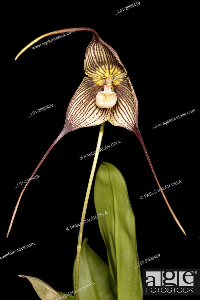 Imagen: Dracula vampira, orchid.
