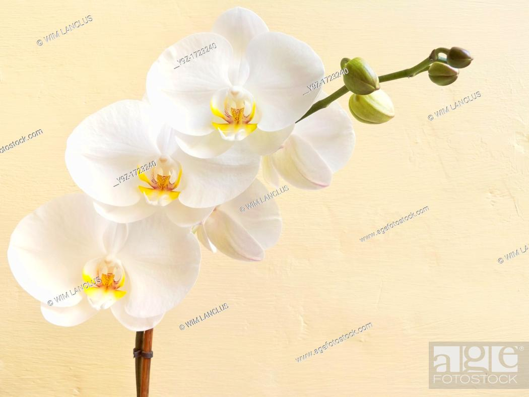 Stock Photo: White orchid flower against yellow wall background.