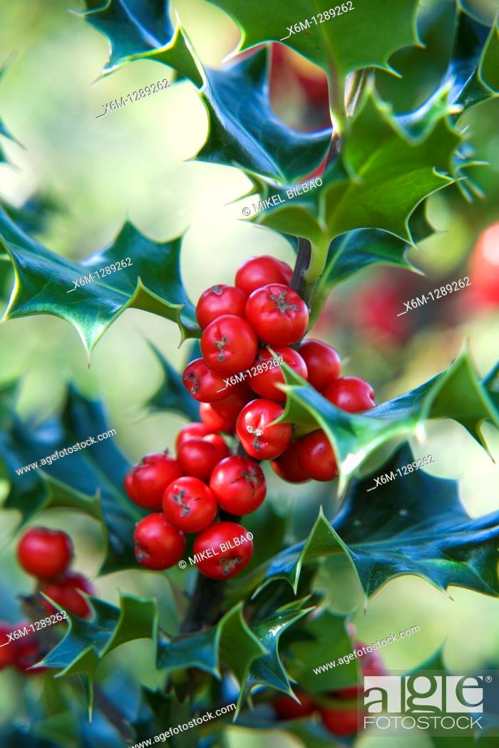 Stock Photo: Holly, or European Holly Ilex aquifolium with red fruits  Gorbea Natural Park  Basque Country, Spain, Europe.