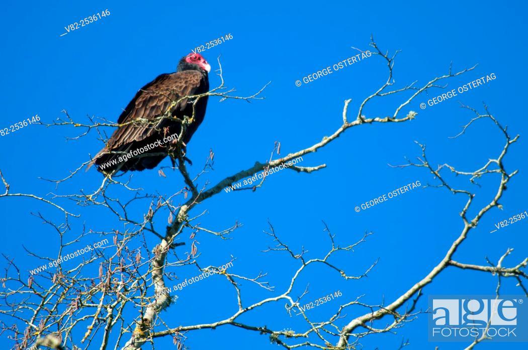 Stock Photo: Turkey vulture, Willamette Mission State Park, Oregon.