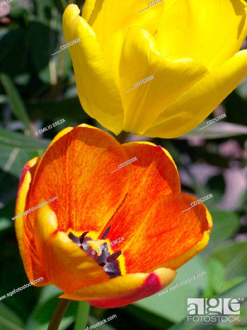 Stock Photo: Tulips (Tulipa hybr.).