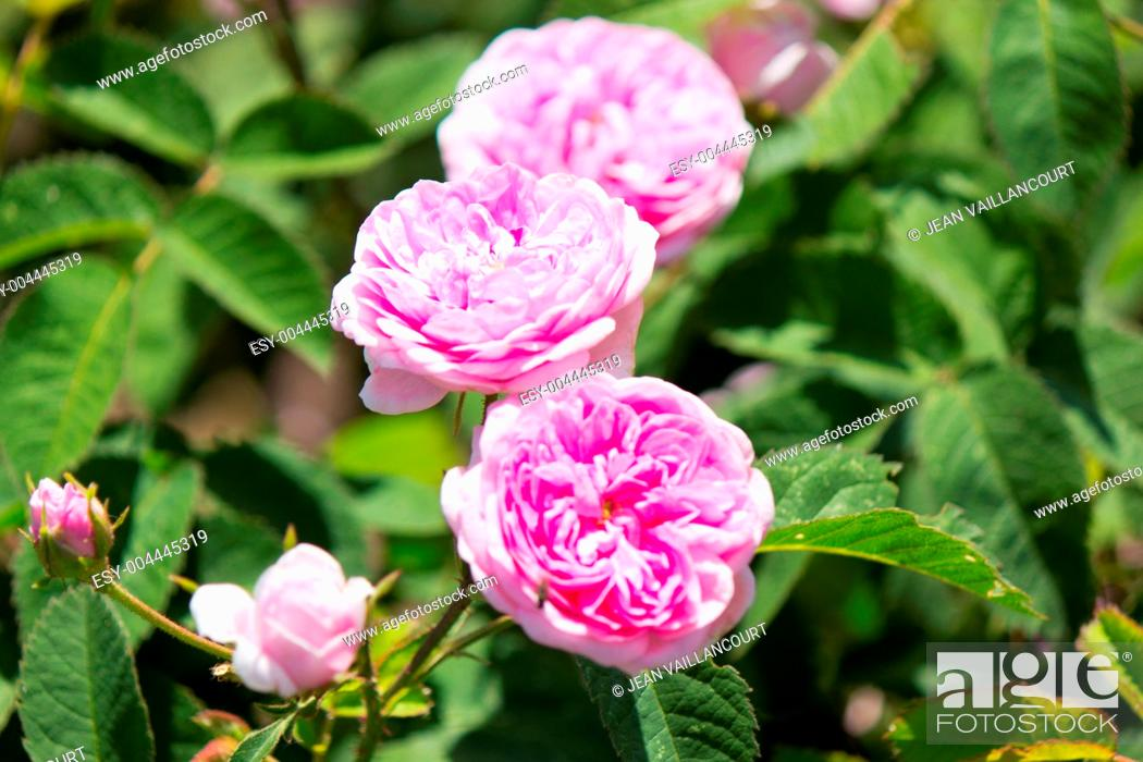Stock Photo: Pink Roses in the Garden.