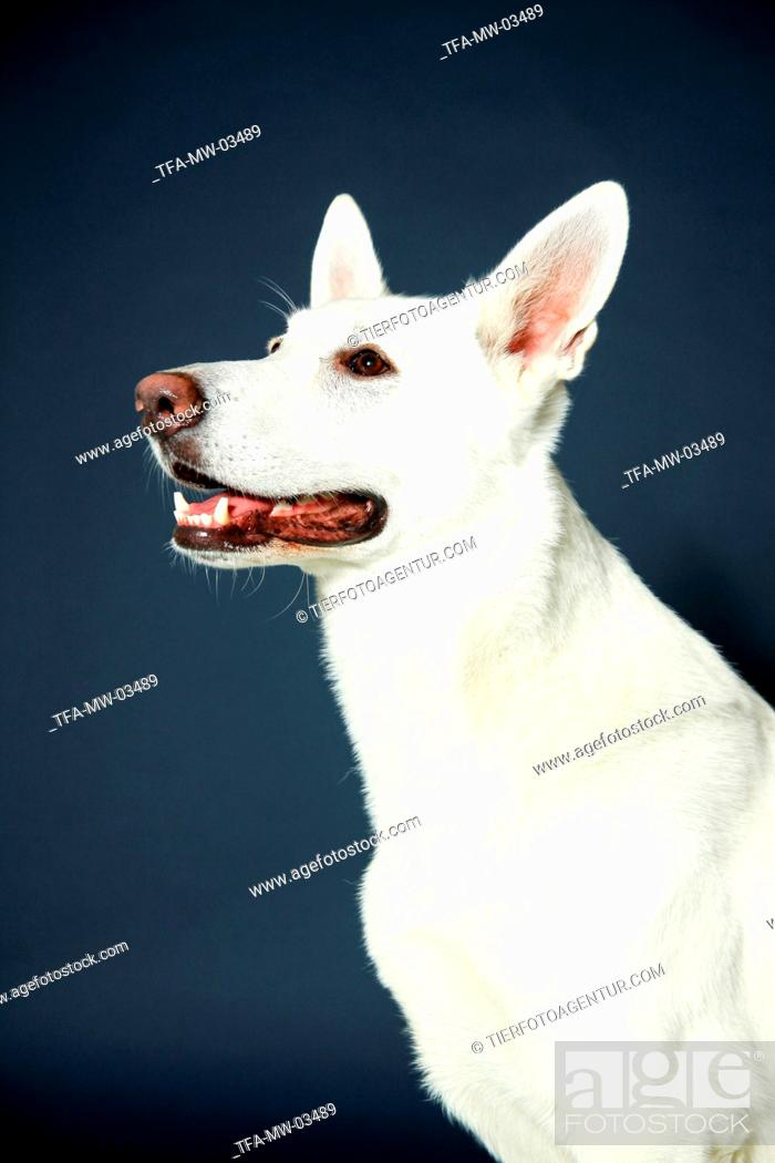 Stock Photo: Berger Blanc Suisse Portrait.