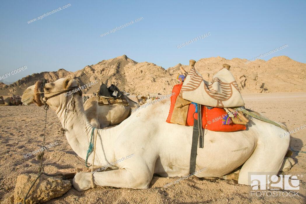 Stock Photo: Bedouin camels in the Sinai Desert near Dahab in Egypt.