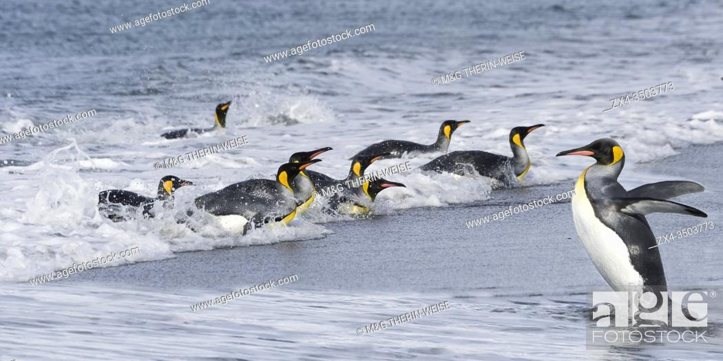 Imagen: Group of King Penguins (Aptenodytes patagonicus) coming out of the water, Salisbury Plain, South Georgia Island, Antarctic.