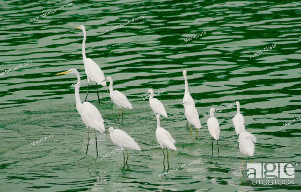 Stock Photo: Great Egret (Egretta alba). La Venta Park, Villahermosa. Tabasco, Mexico.