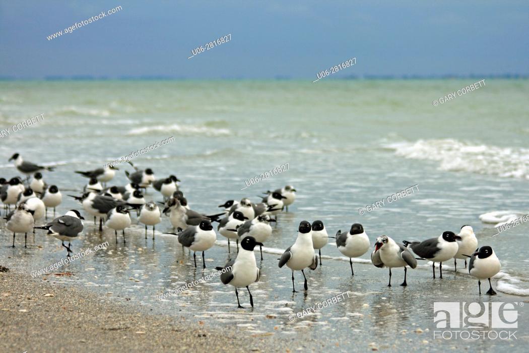 Stock Photo: Laughing Gulls in Florida.