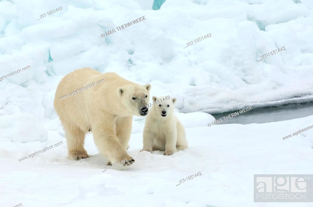 Photo de stock: Female polar bear Ursus maritimus and cub, Svalbard Archipelago, Barents Sea, Norway.