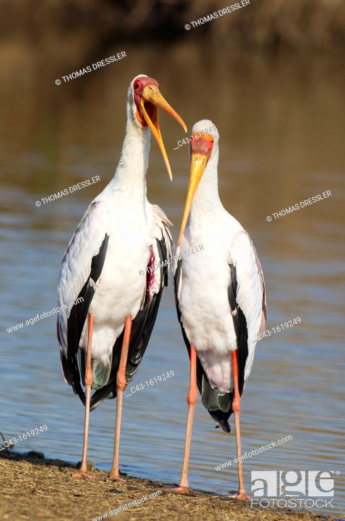 Stock Photo: Yellow-billed Stork Mycteria ibis - Loving pair male on the left during the breeding season at the lakeshore  Sunset Dam, Kruger National Park, South Africa.
