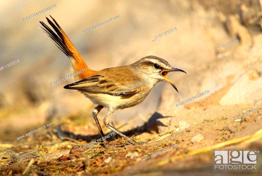 Stock Photo: Kalahari Scrub-robin (Cercotrichas paena), Mabuasehube, Kgalagadi Transfrontier Park, Kalahari desert, Botswana.