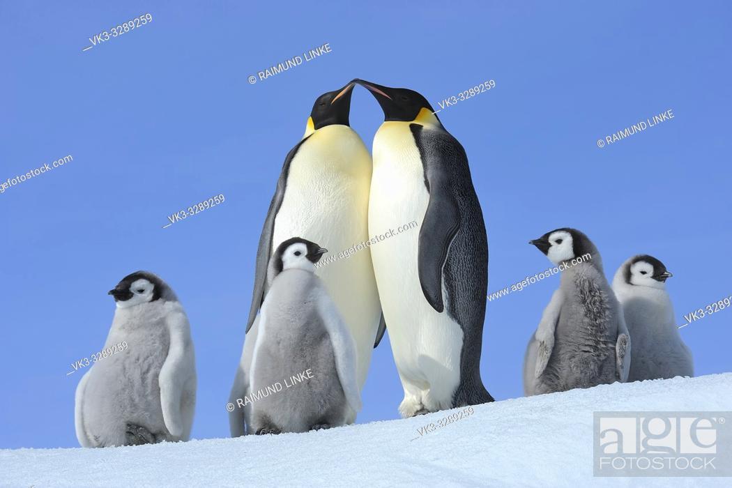 Stock Photo: Emperor penguins, Aptenodytes forsteri, Pair with Chicks, Snow Hill Island, Antartic Peninsula, Antarctica.