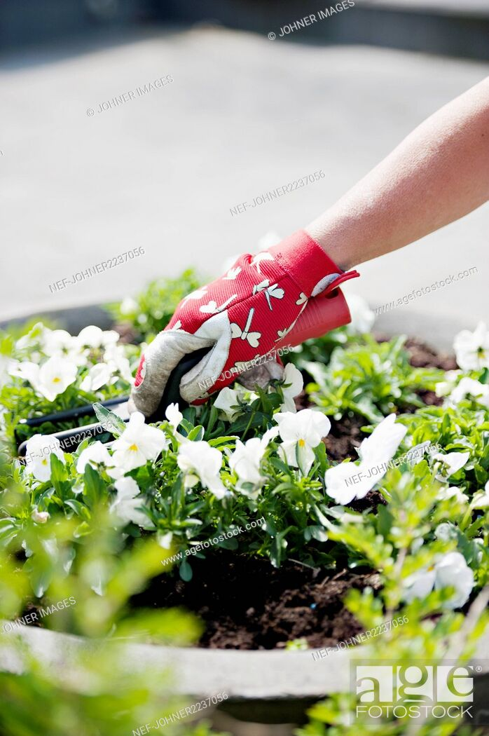 Stock Photo: Woman planting pansies.