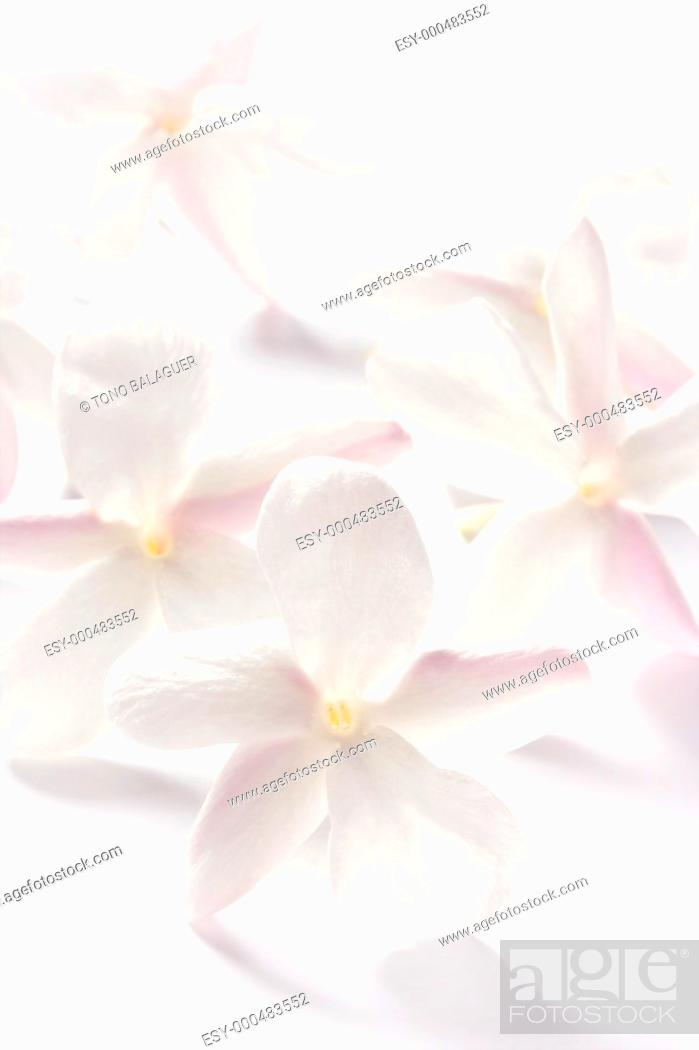 Photo de stock: jasmine flowers over white studio background  High key soft image.