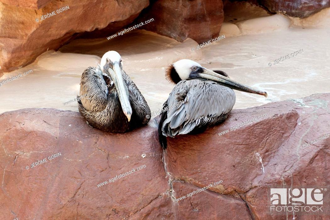 Stock Photo: Brown pelicans (Pelecanus occidentalis).