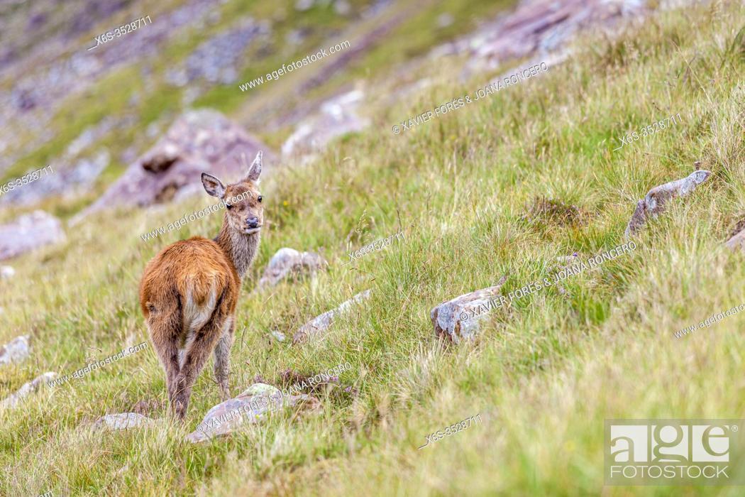Stock Photo: Red deer - Cervus Elaphus -, Highlands, Scotland.