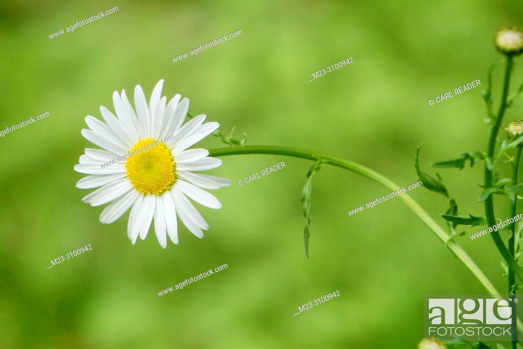 Stock Photo: A daisy leans over, Pennsylvania, USA.