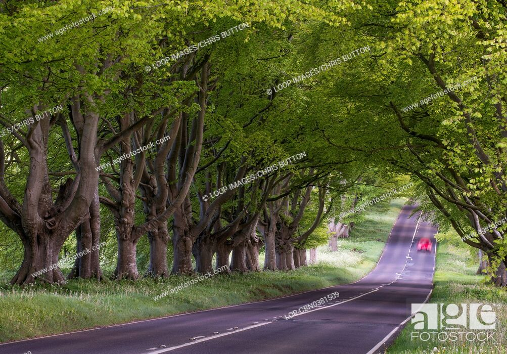Imagen: A view of beech trees at Kingston Lacy.